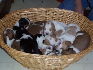 Newborn Basset Hound Puppies
