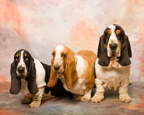 Questions About Basset Hound Puppies