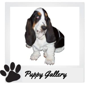 Basset Hound Puppies For Sale In Nc
