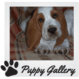 Basset Hound Puppies Gallery
