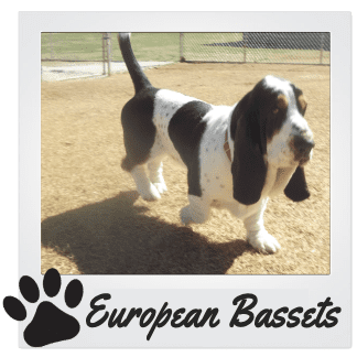 European Basset Hounds