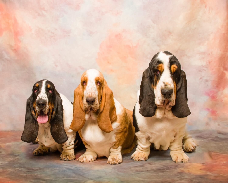 European Basset Hounds Basset Hound Puppies